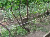 Шпалеры для винограда, зачем они и как их сделать