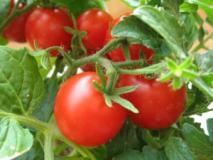 Сорта розовых томатов устойчивых к засухе: Чудо земли и Медвежья лапа