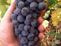 Сорта винограда очень раннего срока созревания