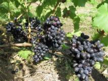 Сорта винограда сверхраннего срока созревания