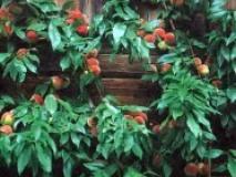 Советы дачников по обрезке персика