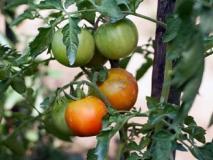 Созревание томатов и как не потерять их качество