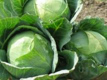 Сроки уборки и хранение капусты зимой