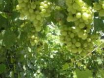 Техника весенней посадки саженцев винограда