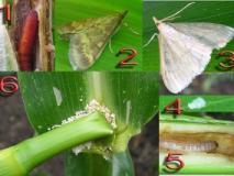 Типы повреждений растений грызущими насекомыми-вредителями