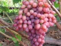 Уход за саженцем винограда в первые годы жизни