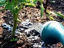 Универсальный план подкормок томатов