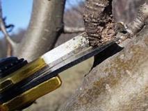 Весенняя обрезка деревьев начинается в середине марта