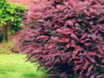 Виды барбариса для сада