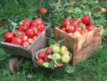 Влияние средств прореживания на лежкость, листья и рост побегов