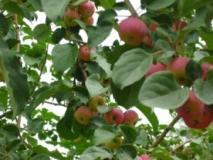 Влияние средств прореживания на нагрузку урожаем