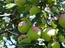 Влияние водного режима растения на опадение плодов