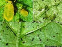 Вредители огурцов и способы борьбы с ними