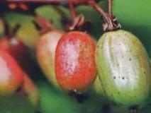 Выращивание актинидии коломикты в саду