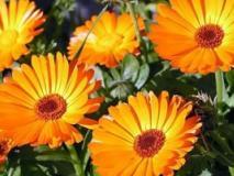 Выращивание календулы — солнечные ноготки на клумбе