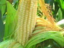 Выращивание кукурузы рассадным и безрассадным способом