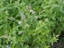 Выращивание мяты имеет свои особенности