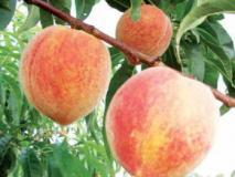 Выращивание персика: посадка, обрезка и прививка