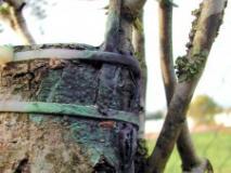 Выращивание подвоев и их влияние на деревья