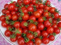 Выращивание помидоров черри в открытом грунте