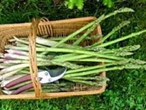Выращивание рассады спаржи, посадка в открытый грунт и уход за ней