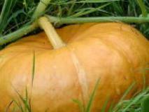 Выращивание тыквы рассадой и семенами в открытый грунт