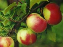 Яблоня домашняя. Описание