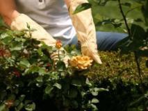 Защитим розы – избавимся от сорняков!