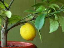 Выращиваем комнатные лимоны