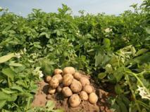 Окучиваем картофель