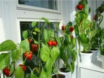 Растите перец на окне