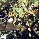 2 основных способа прививки винограда