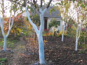 Белить деревья – как, когда и зачем