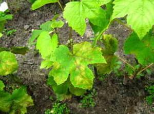 Борьба с болезнями винограда картинки