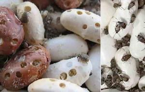 Брухус (зерновка) – вредитель гороха и фасоли. Способы борьбы