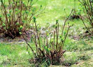 Что дает обрезка растений на пень и как ее сделать