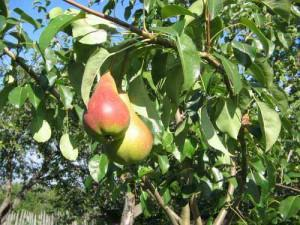 Что делать, если груша не плодоносит