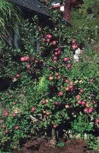 Формирование веретеновидного куста яблони