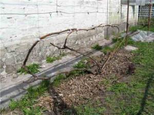 Формировка укрывного винограда