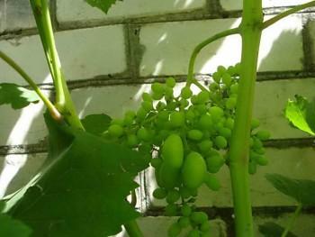Горошение винограда — причина мелкой ягоды