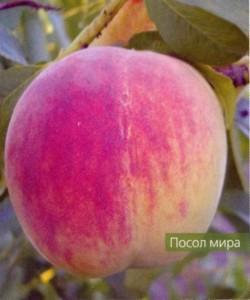 Характеристика деревьев персика по восприимчивости к регуляторам роста