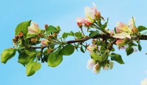 Характеристика отдельных веток плодовых деревьев