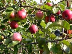 Характеристика сортов деревьев яблонь: «Джонатан», «Канадский ранет», «Ингрид Мария», «Берлепш», «Кокс оранж», «Финкенвердер», «Гравенштейнер», «Гольштейнер Кокс» и другие по восприимчивости к регуляторам роста