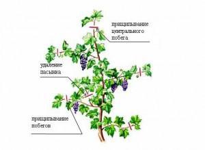Как нужно ухаживать за виноградом