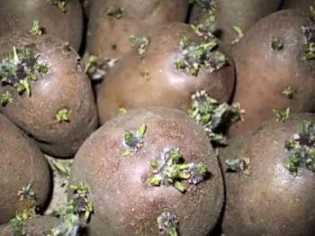Как подготовить картофель к посадке, способы проращивания