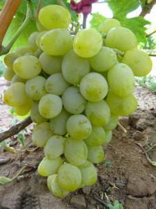 Как подготовить почву для посадки винограда
