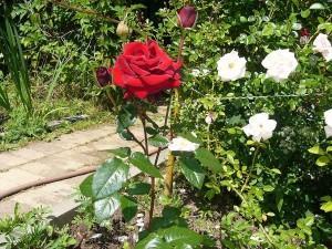 Как правильно срезать розы? Как сохранить срезанные розы?