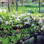 Как сделать кордон из саженцев яблонь, груш и смородины