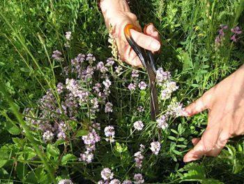 Как собирать и сушить травы, корешки и плоды