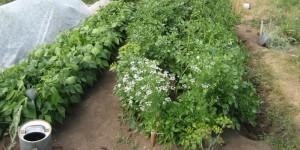 Как создать дачные грядки для картофеля, томатов и перца